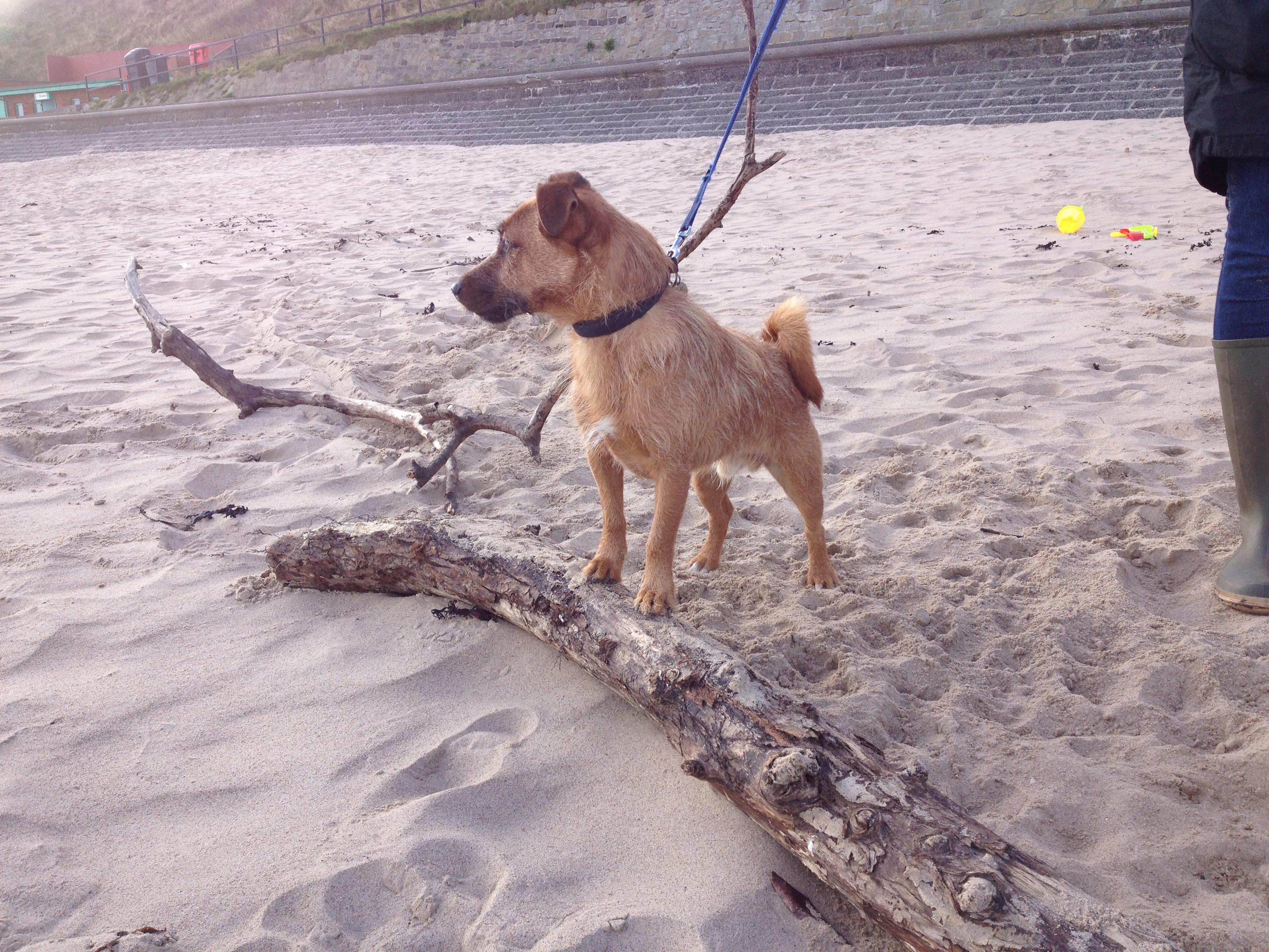 Toby - Enjoying the latest dog day out at the beach with hot dog hols